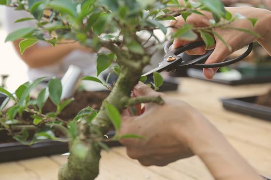 deshojar_bonsai2